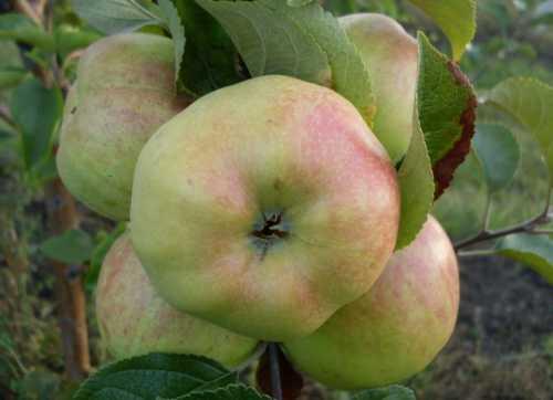 Особенности сорта яблони Богатырь: