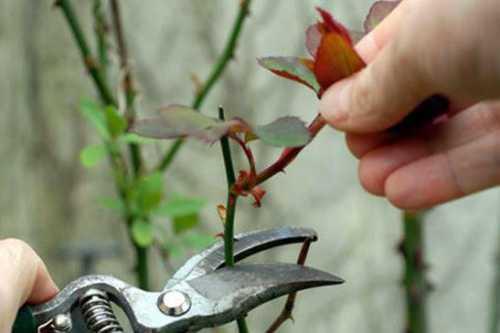 Как  ухаживать за розами осенью, преимущества