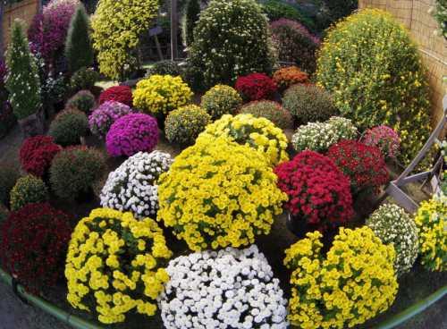 Хризантемы: посадка цветов, технология ухода,