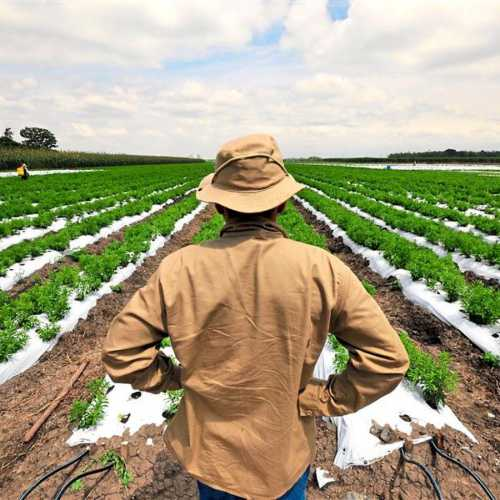 Выращивание стевии: технология посева, секреты,
