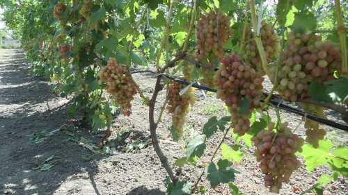 Польза винограда кишмиш, возможный вред, кому