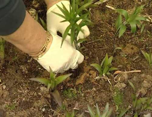 Как вырастить домашнюю лилию, выбираем посадочный