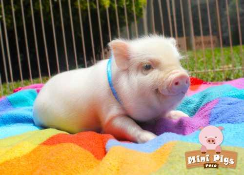 Декоративные свинки мини