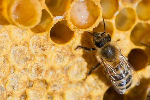 Полезные свойства пчелиного маточного молочка,